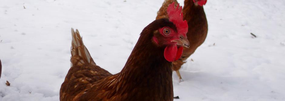 Schulhühner im Schnee